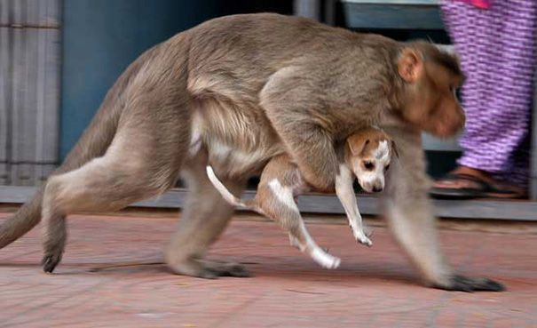 January 21st, 2016Tags:dog,monkey,puppyThese incredible pictures show how a monkey rescued a puppy and helped it to survive. The scene happened earlier this month in Rode, India. A rhesus ...